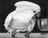Cockatoo Images